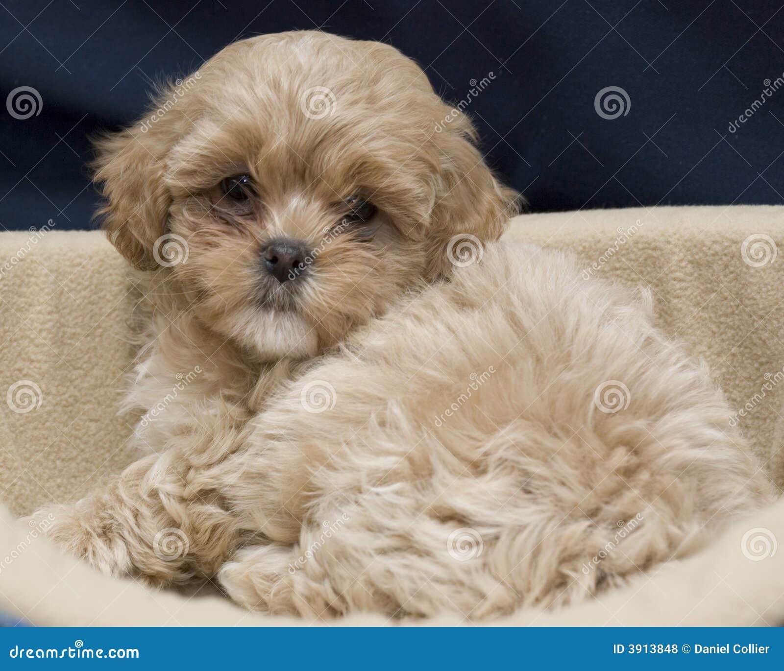 Cute Puppy Royalty Fre...