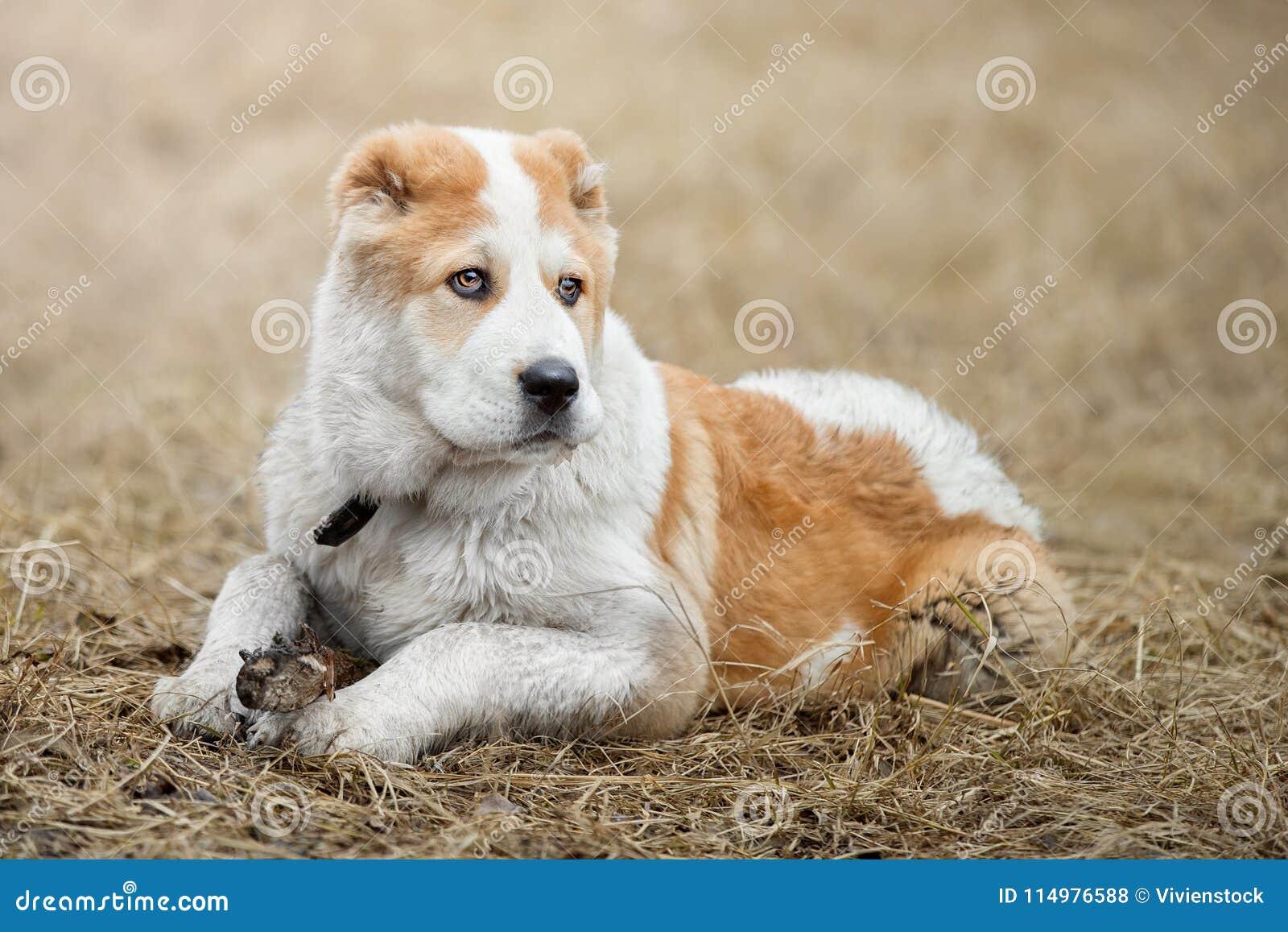 Alabai cute puppy alabai asian shepherd stock photo - image of portrait