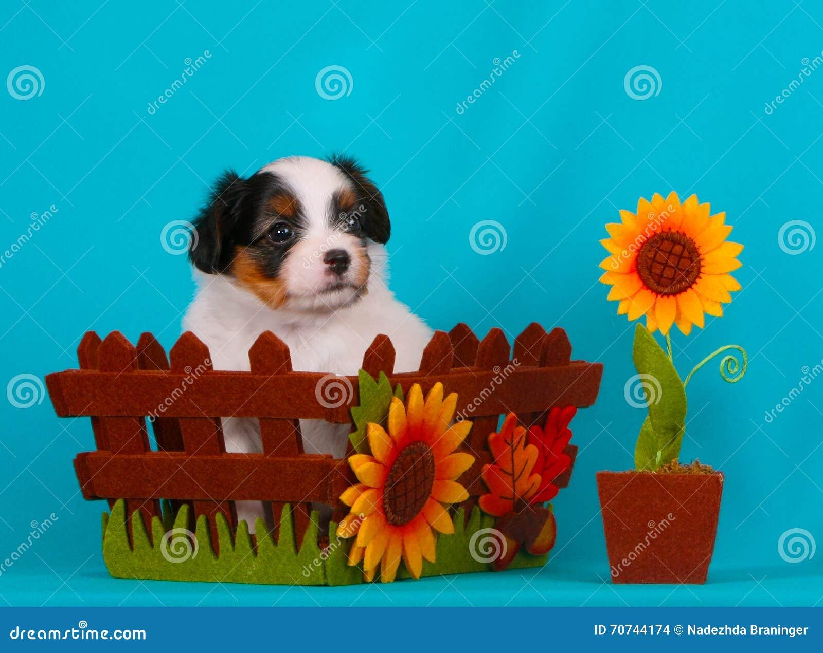 Cute puppy in autumn basket. Phalen puppy breeds.