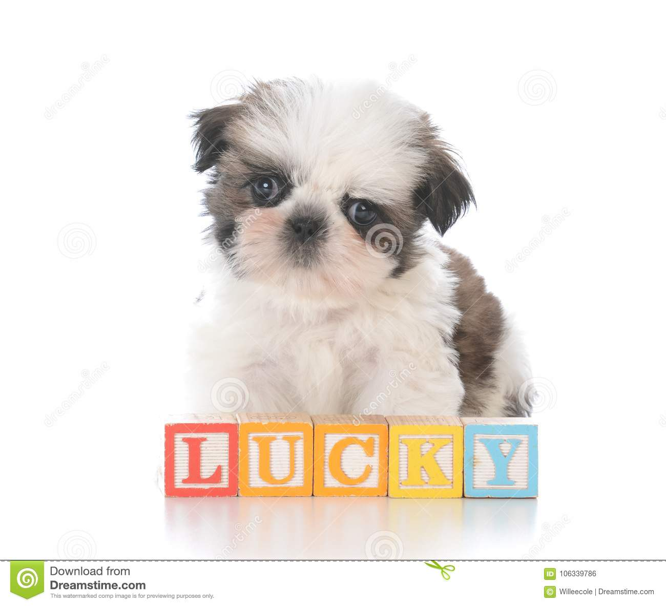 Cute Shih Tzu Puppy With Block Letters Stock Photo Image Of