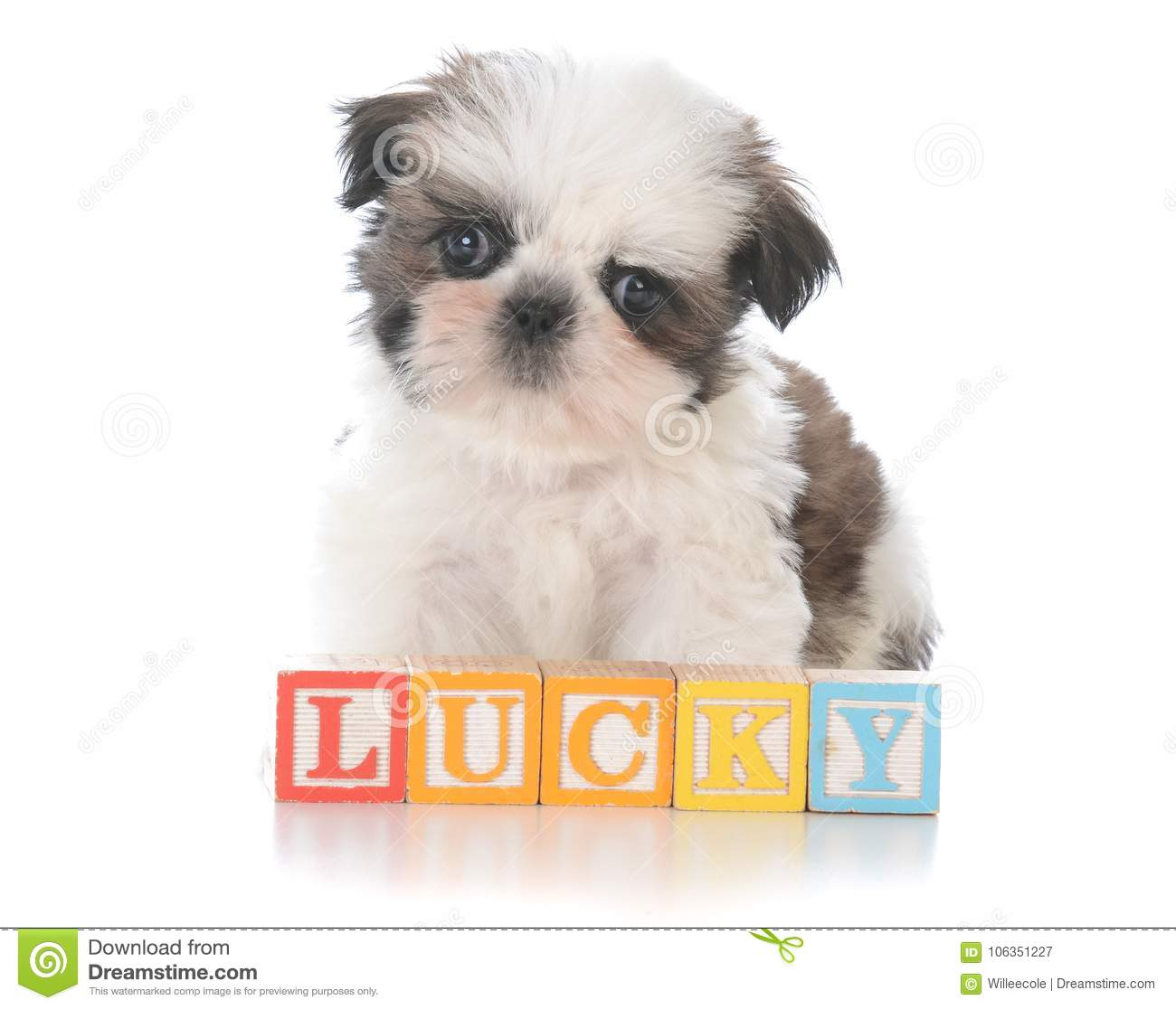 Cute Shih Tzu Puppy With Block Letters Stock Image Image Of Purebred Emotion 106351227