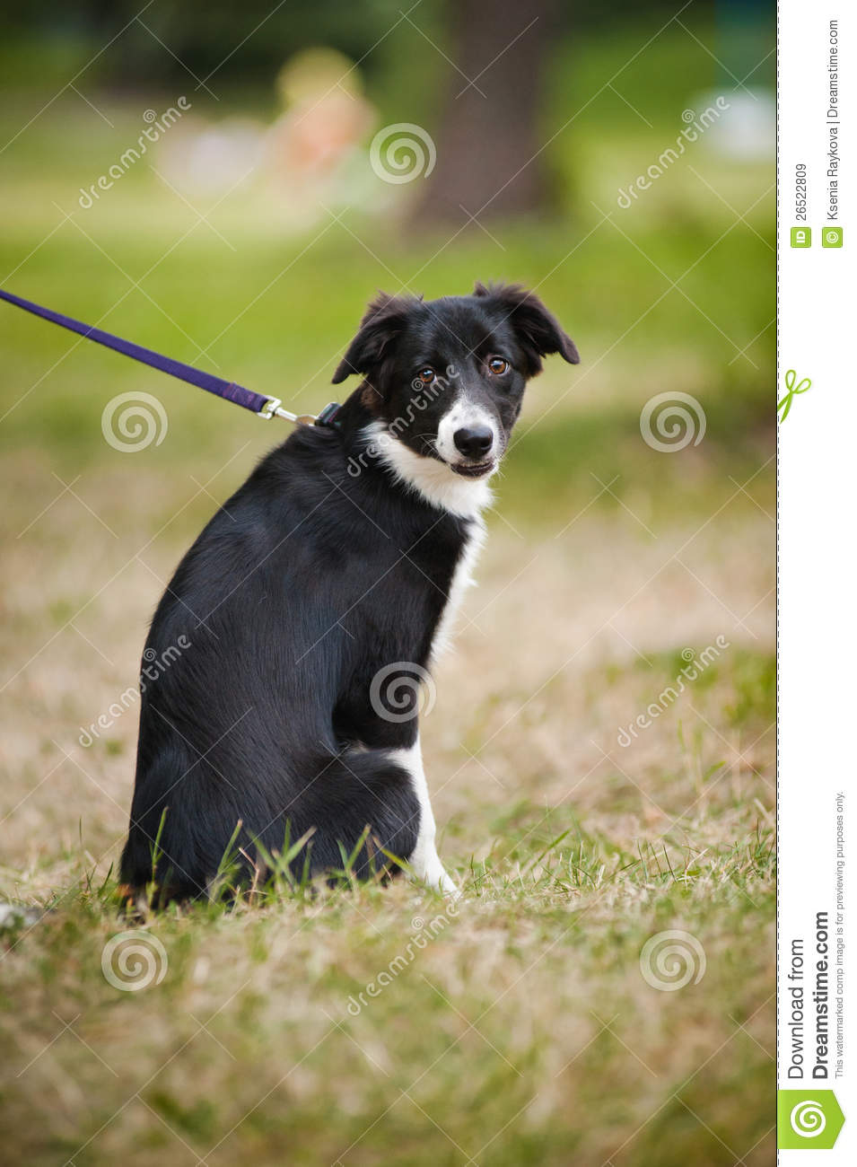 Cute Puppy Border Collie Stock Image Image Of Happy
