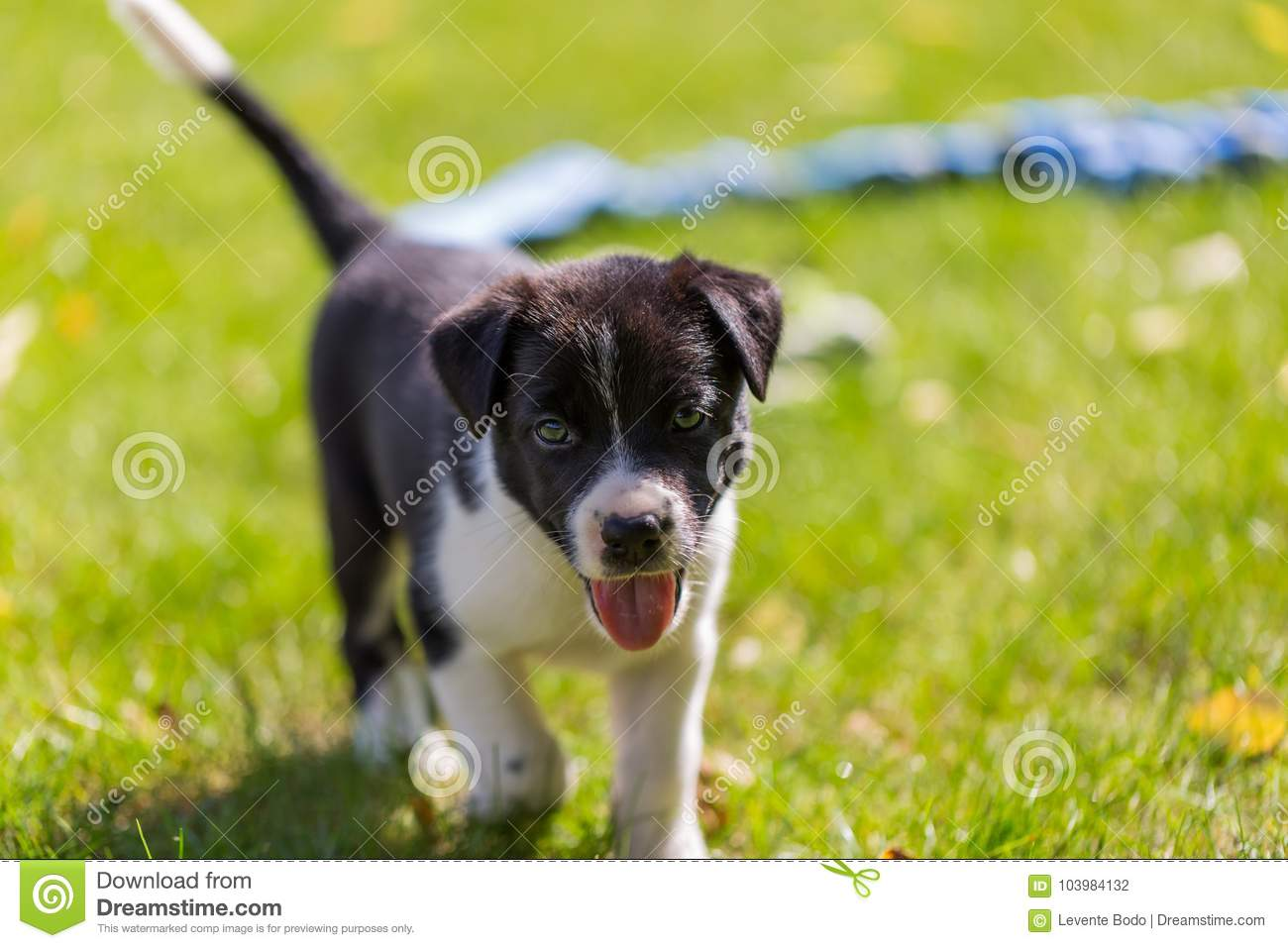 Very little puppy is running happily with floppy ears trough a garden with green grass