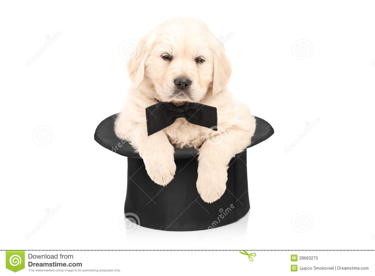 Cute Puppy Dog With Bow Tie Posing In A Top Hat Stock ...