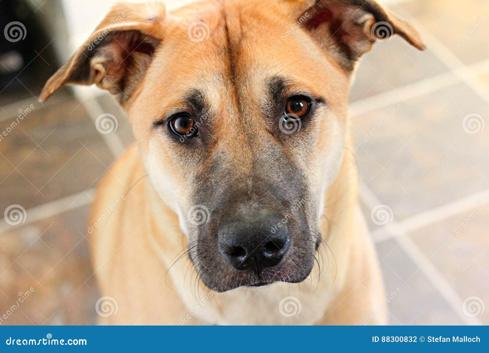 Cute Puppy Dog Eyes Stock Photo Image Of House Eyes 88300832