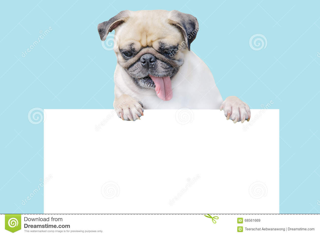 Cute puppy dog pug above banner look down with copy scape for label mockup template for gift certificate royalty free stock photo yelopaper Images