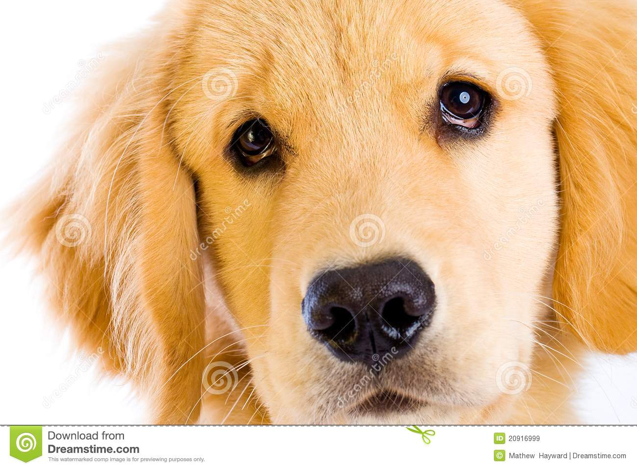 ... golden retriever puppy giving a sad dog face, begging with his eyes