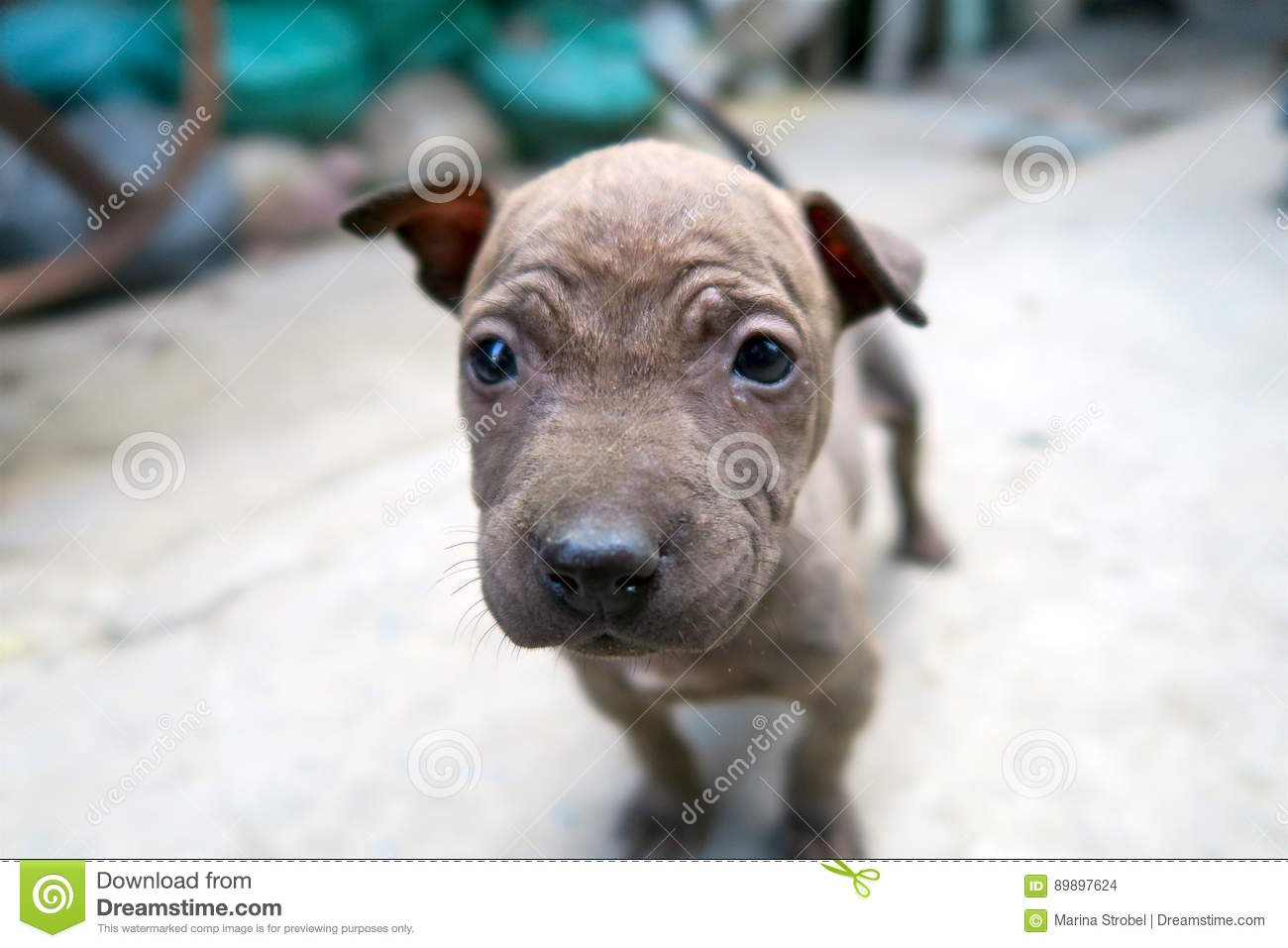 Cute Puppy Face Brown Small Puppy Stock Image