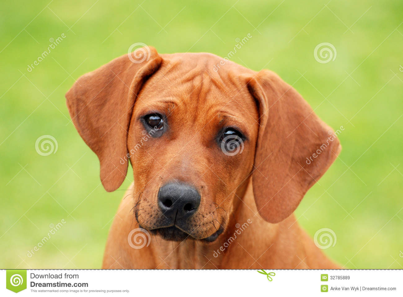 Cute Puppy Face Portrait Royalty Free Stock Image
