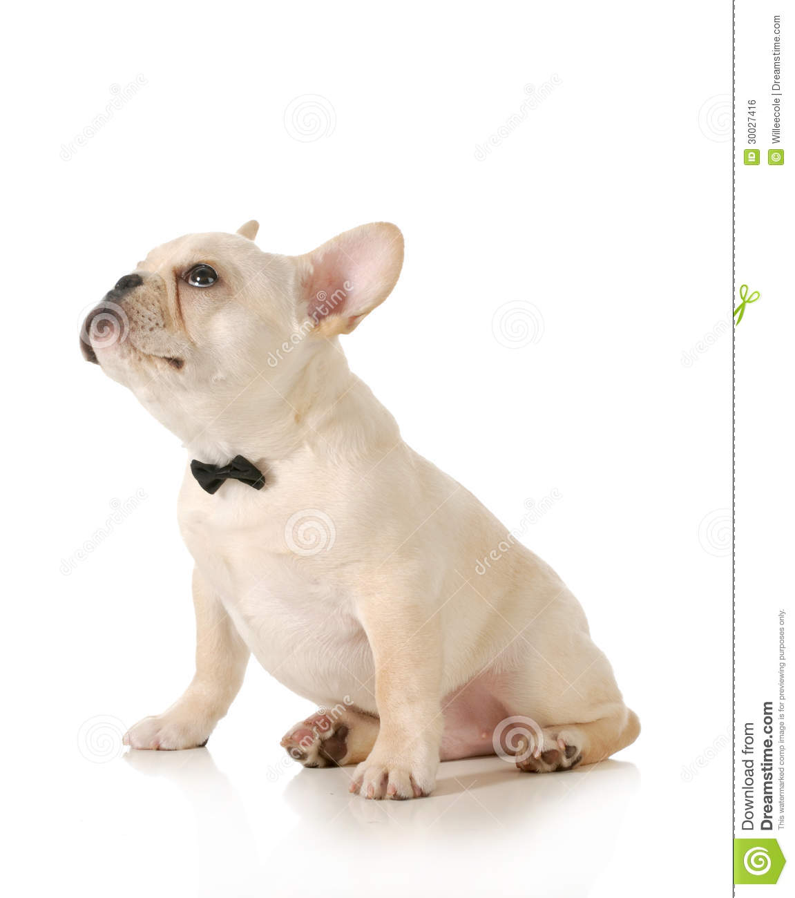 Amazing Bulldog Black Adorable Dog - cute-puppy-french-bulldog-puppy-wearing-black-bowtie-looking-up-sitting-white-background-30027416  Perfect Image Reference_441871  .jpg