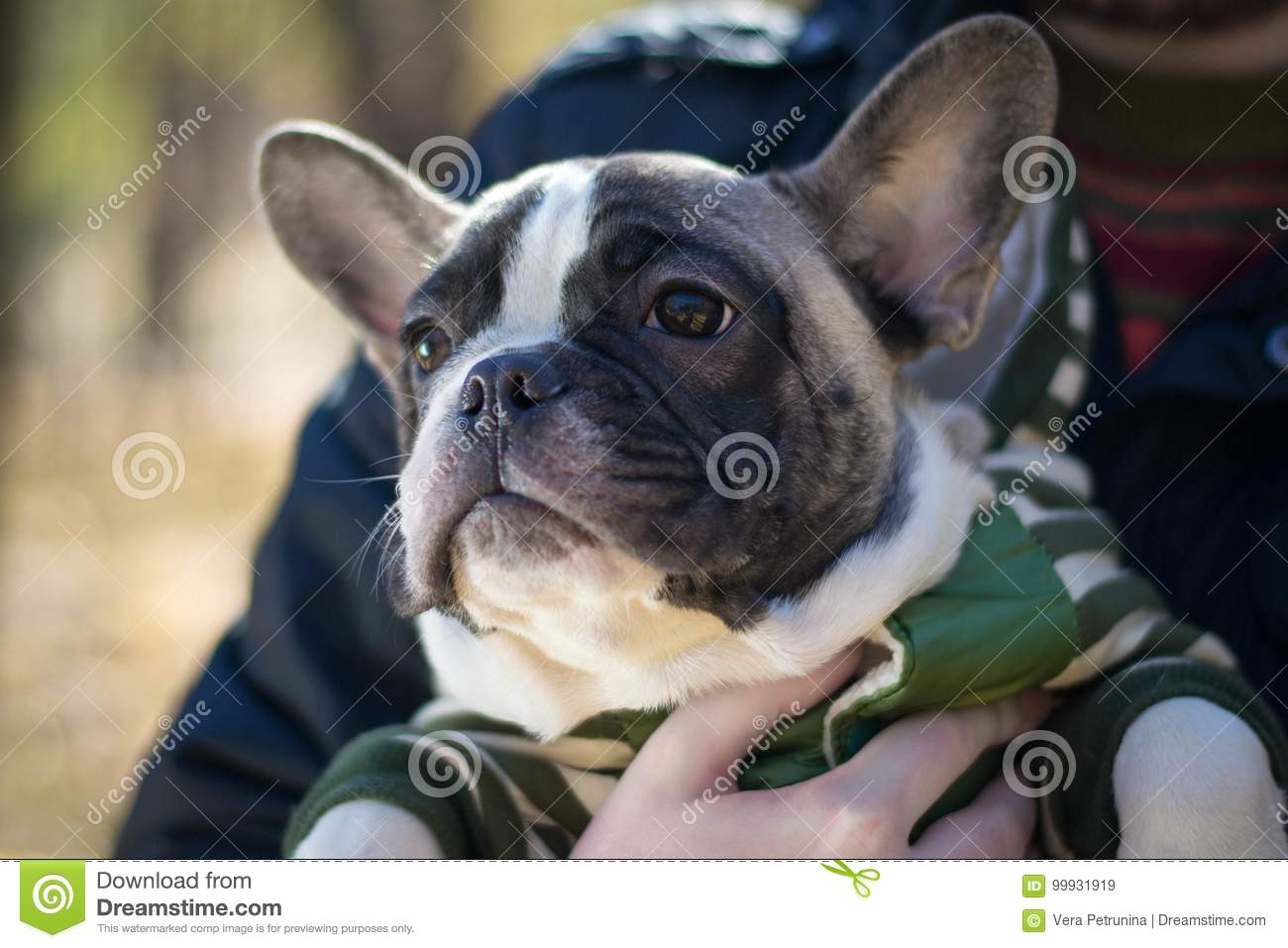 Cute Puppy French Bulldog Sitting In Hands Stock Image Image Of
