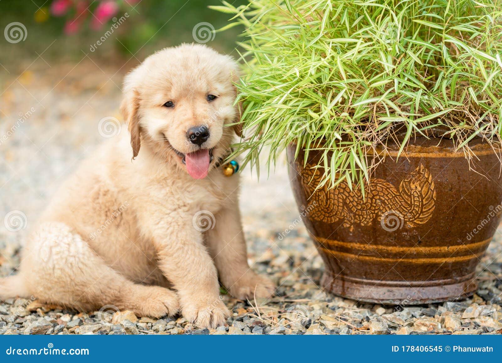 Cute Puppy Golden Retriever Eating Small Bamboo Plants Or Thyrsostachys Siamensis Gamble In Garden Pot Stock Image Image Of Golden Environment 178406545