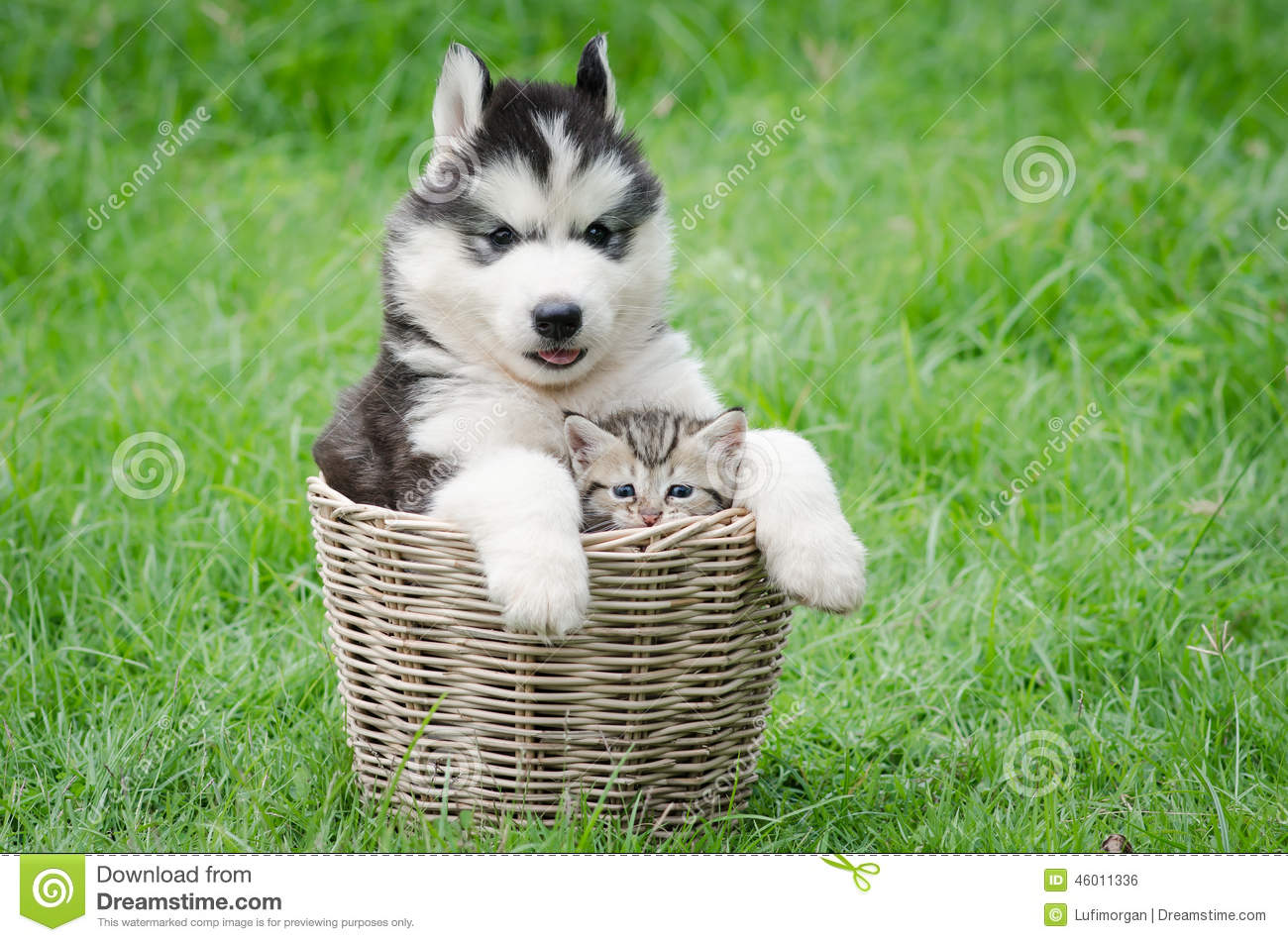 cute puppy and kitten in basket stock photo image of husky green