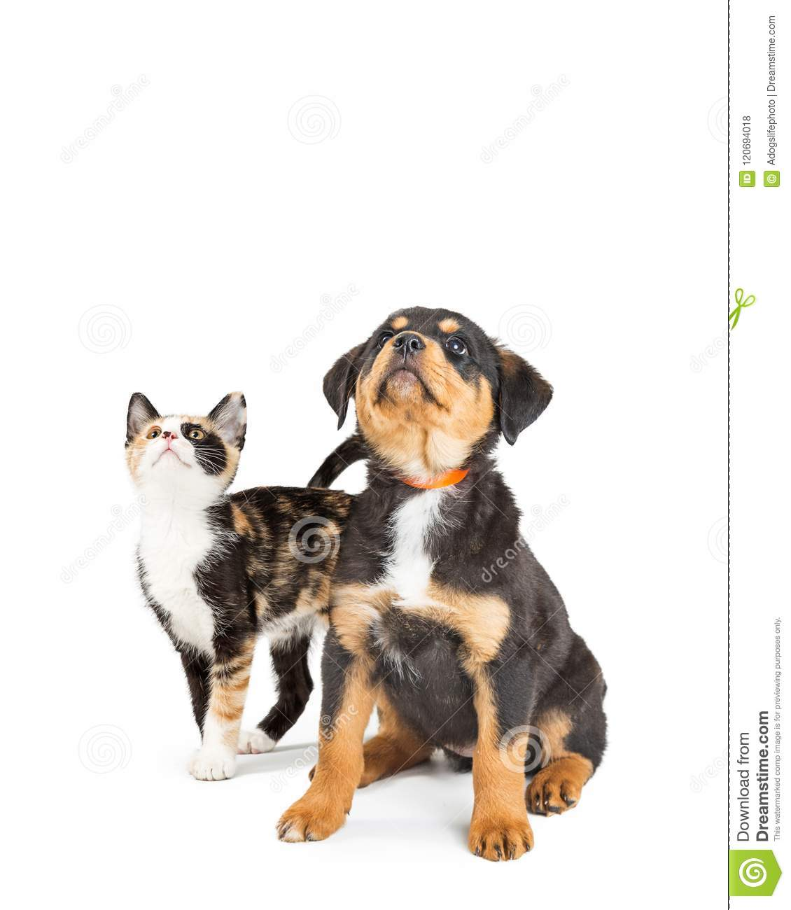 cute puppy and kitten looking up into copy space stock photo image