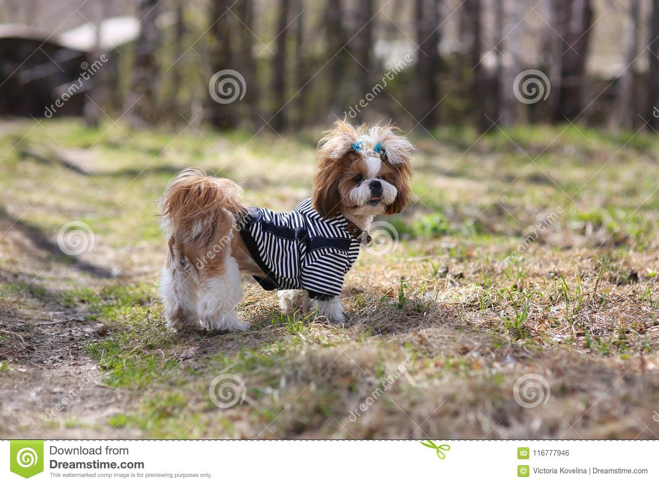 Cute puppy shih tzu dressed