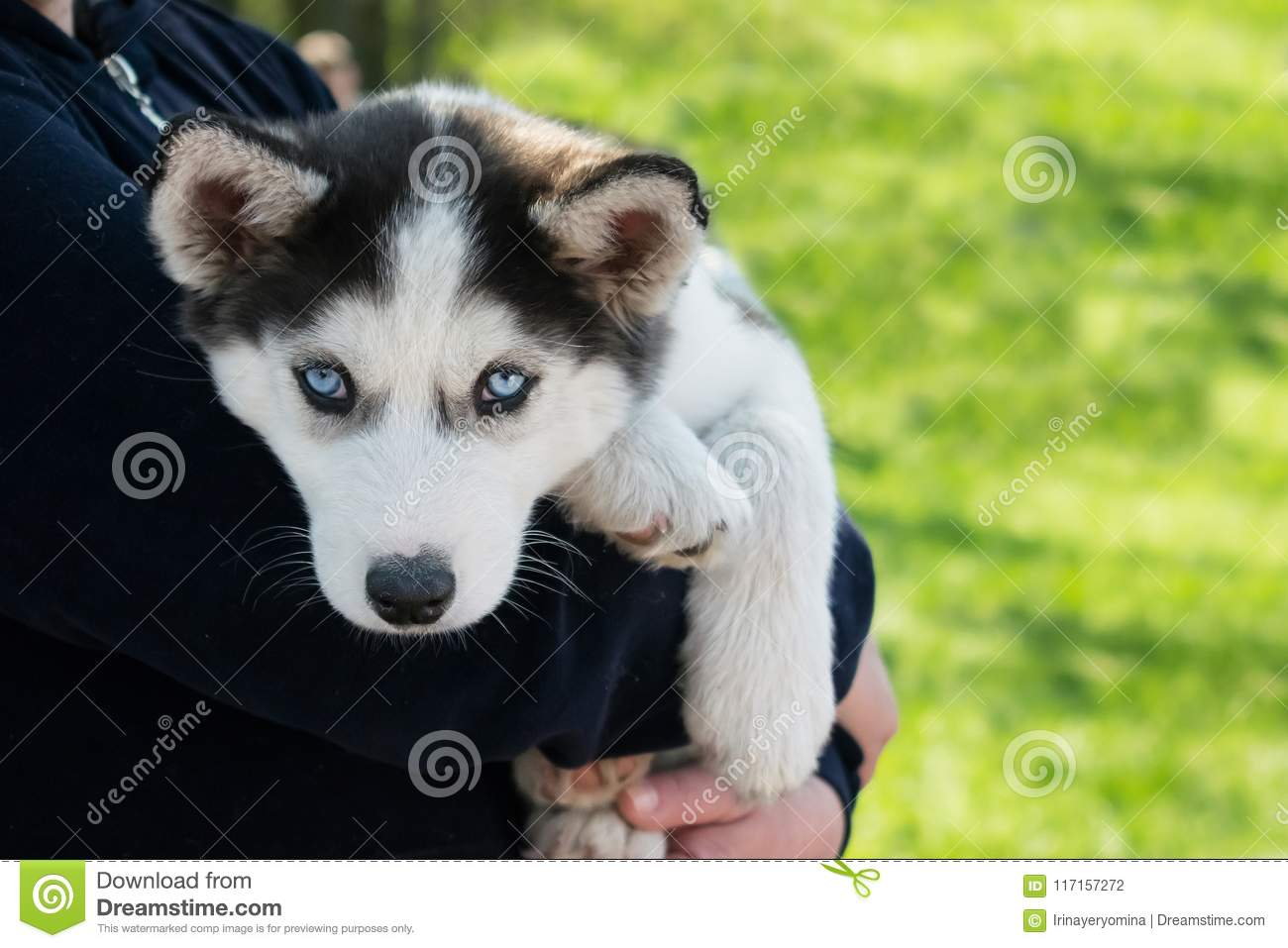 Cute Puppy Siberian Husky Black And White With Blue Eyes On The