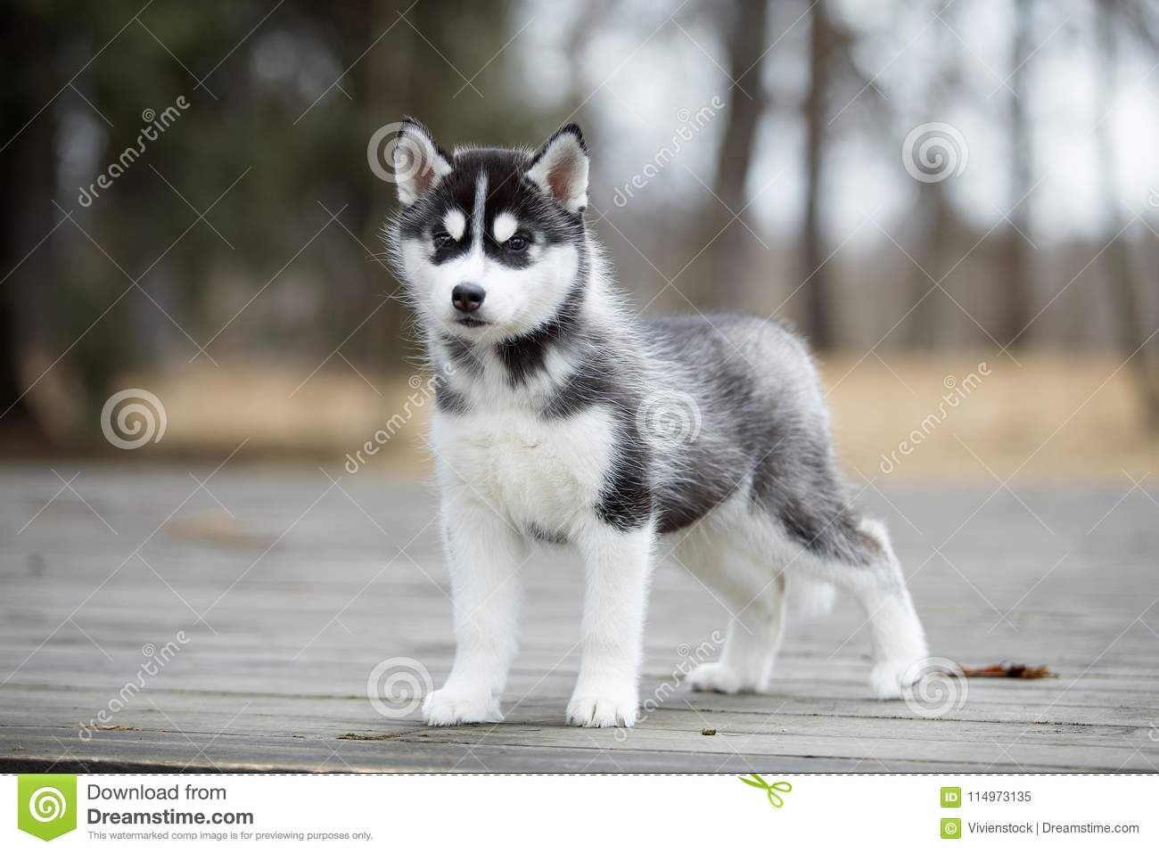 Cute Puppy Siberian Husky Black And White Stock Image Image Of Doggy Friend 114973135