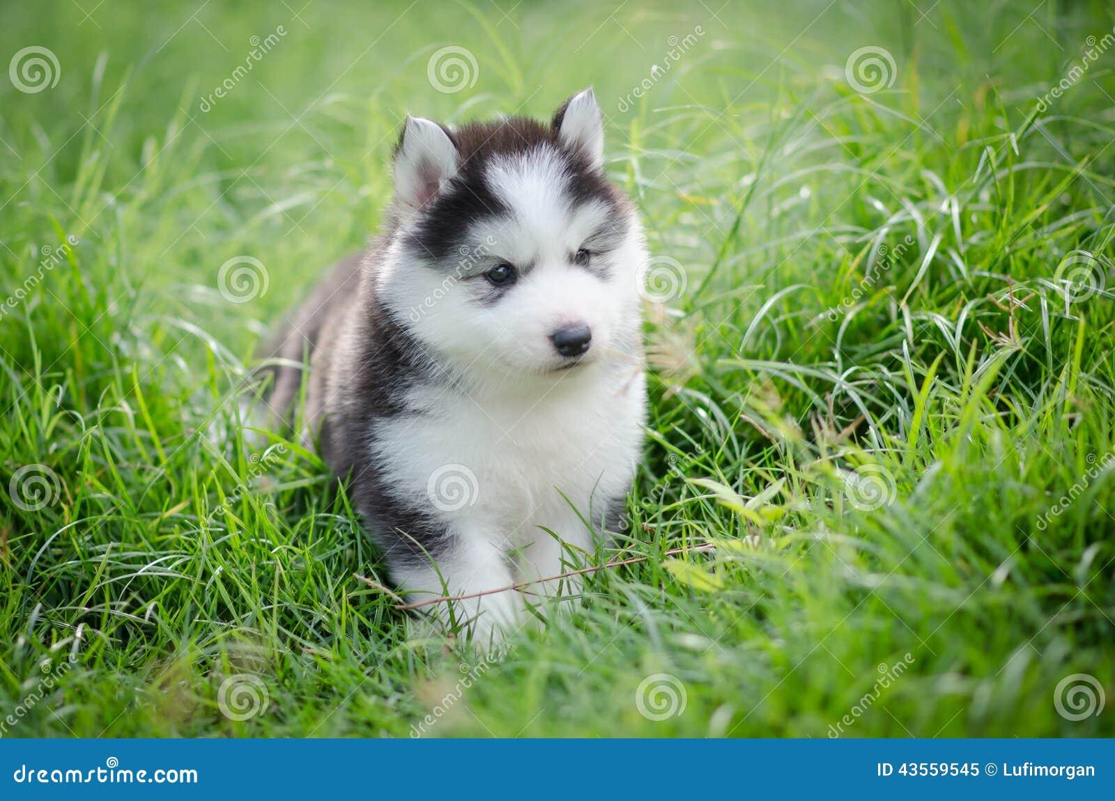 Cute Puppy Siberian Husky Stock Image Image Of Purebred 43559545