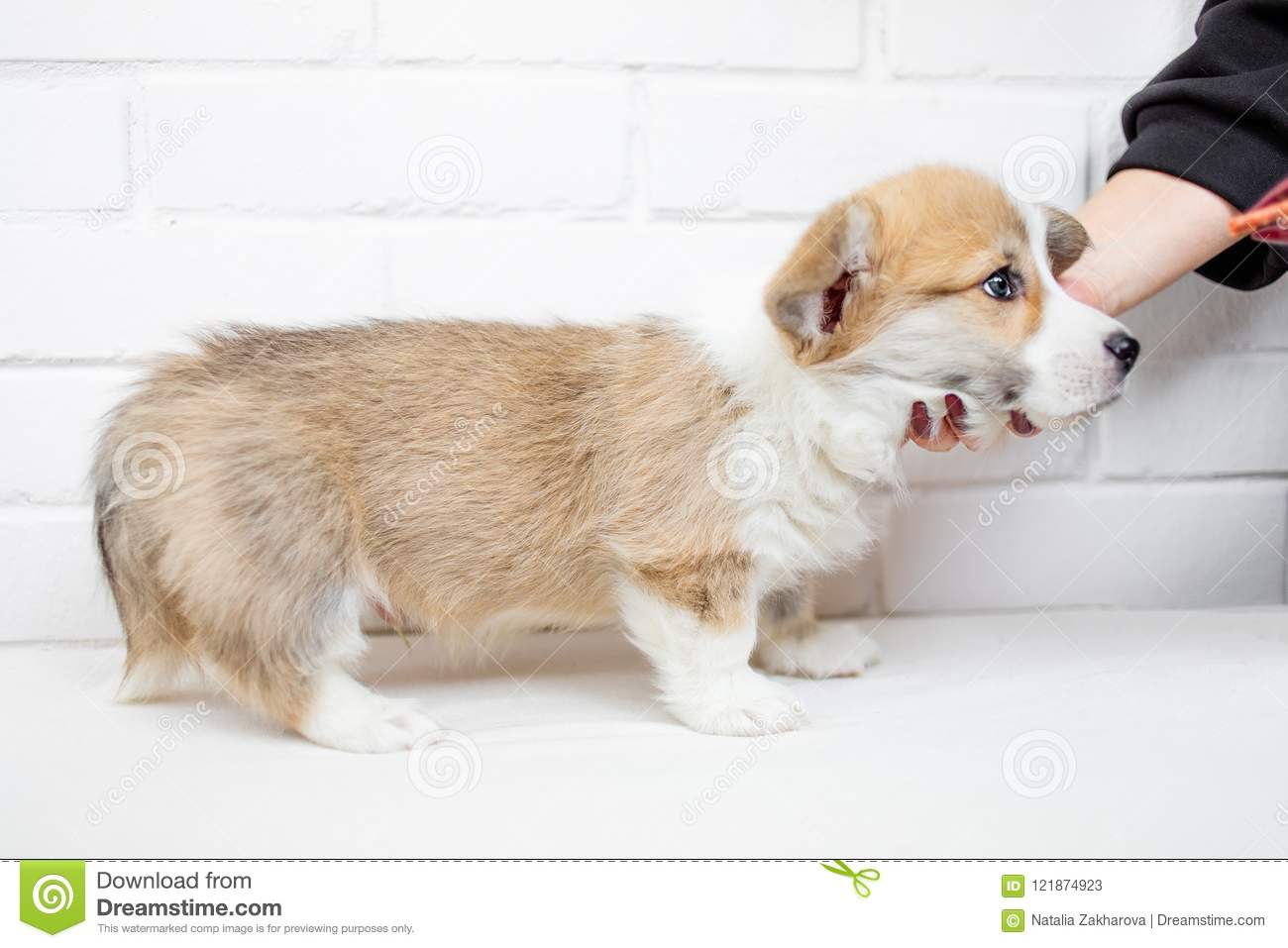 Cute Puppy On White Background Calm Beautiful Puppy Dog Stock Image