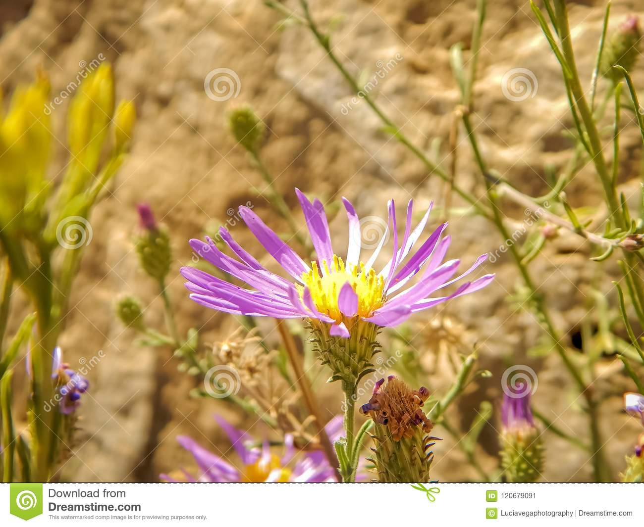 Cute And Purple Flower In The Desert Stock Image Image Of Plant