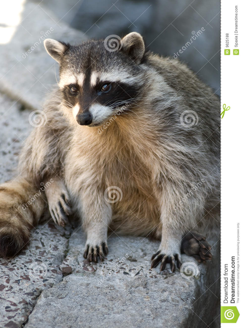 Cute Raccoon Royalty Free Stock Photos - Image: 9625188