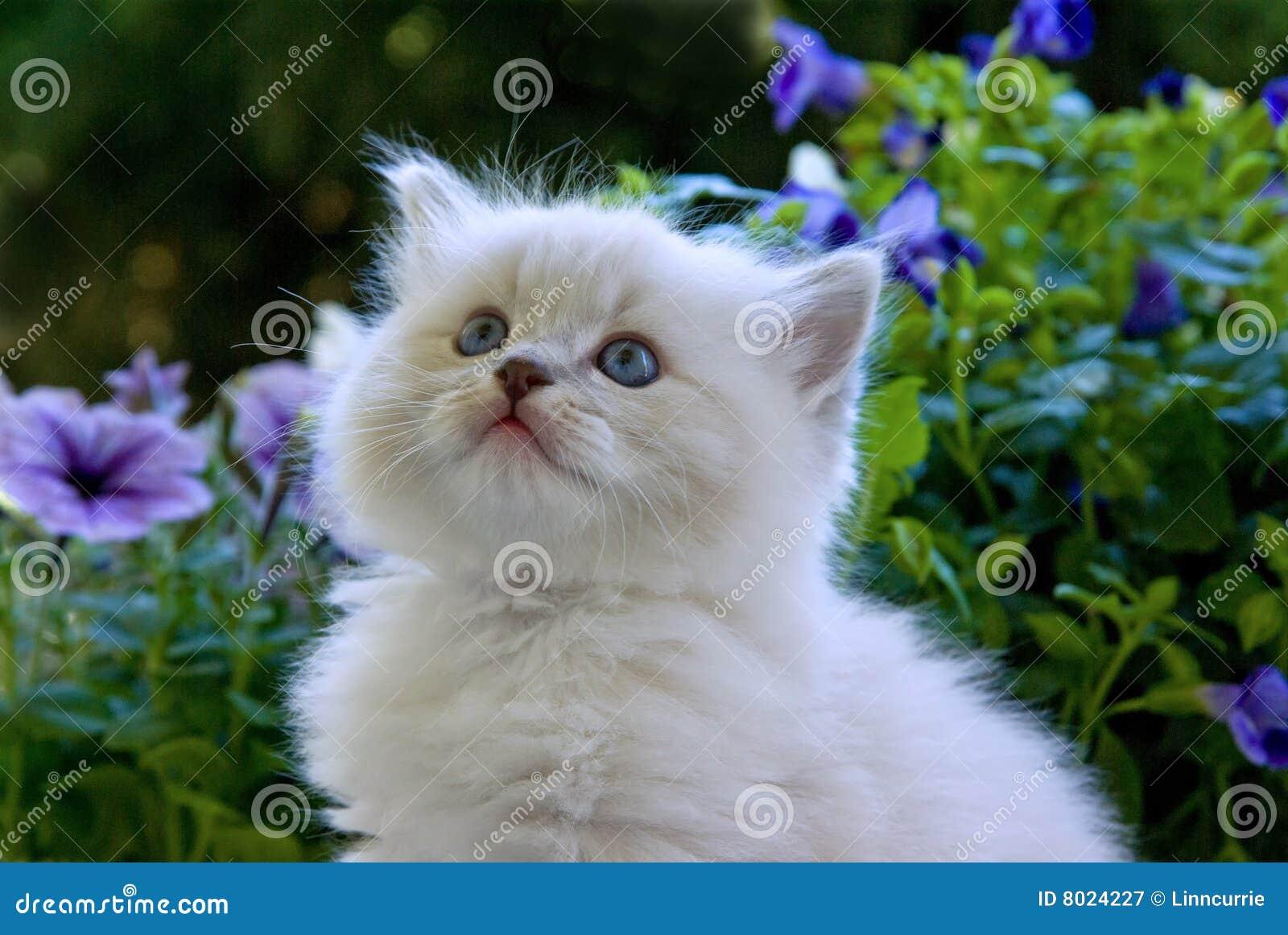 Cute Ragdoll kitten with flowers
