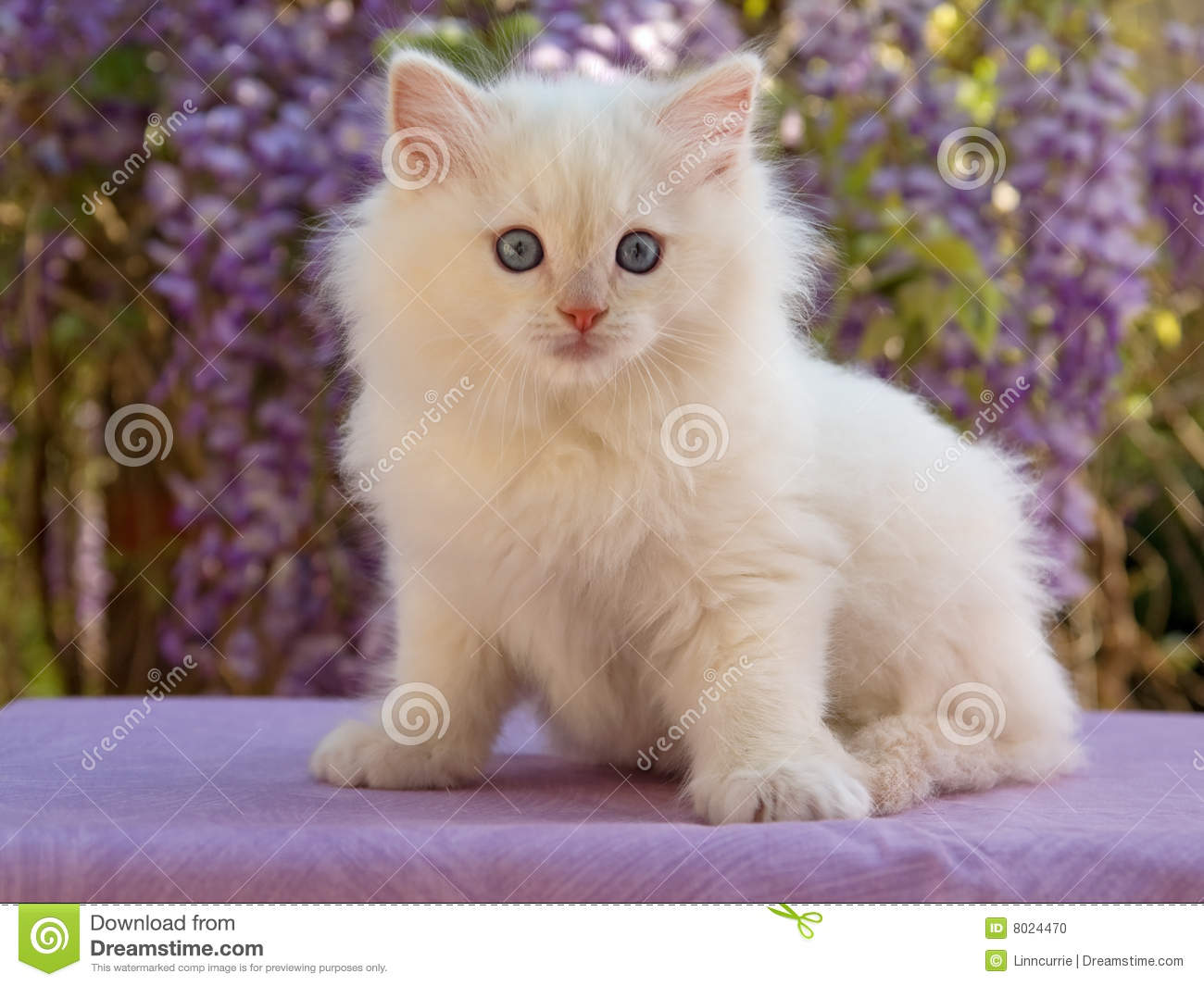 Cute Ragdoll kitten sitting in front of flowers