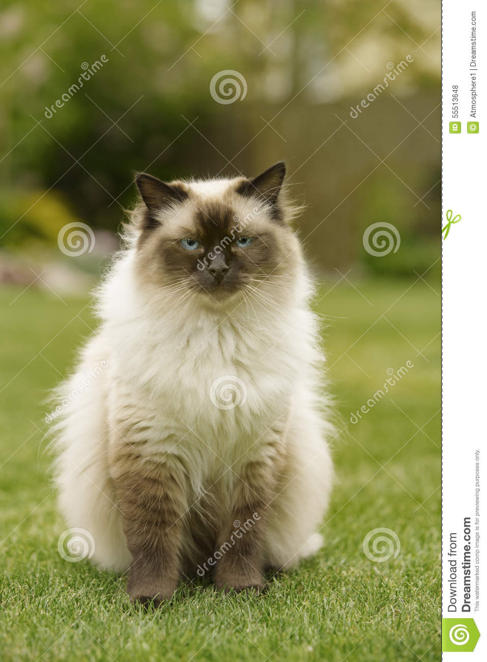Cute Ragdoll kitty cat with blue eyes sitting straight on grass in a garden