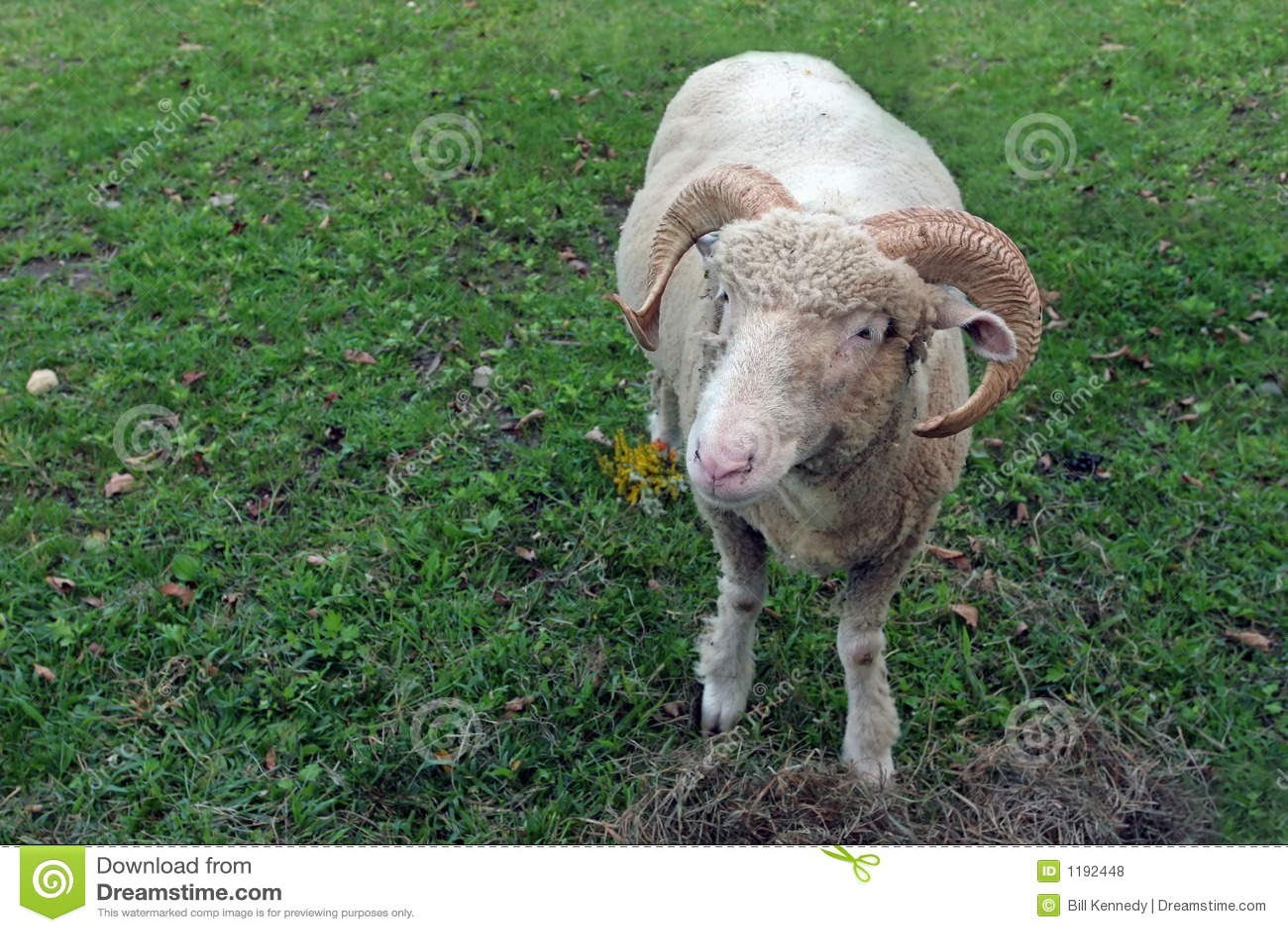 Cute Ram
