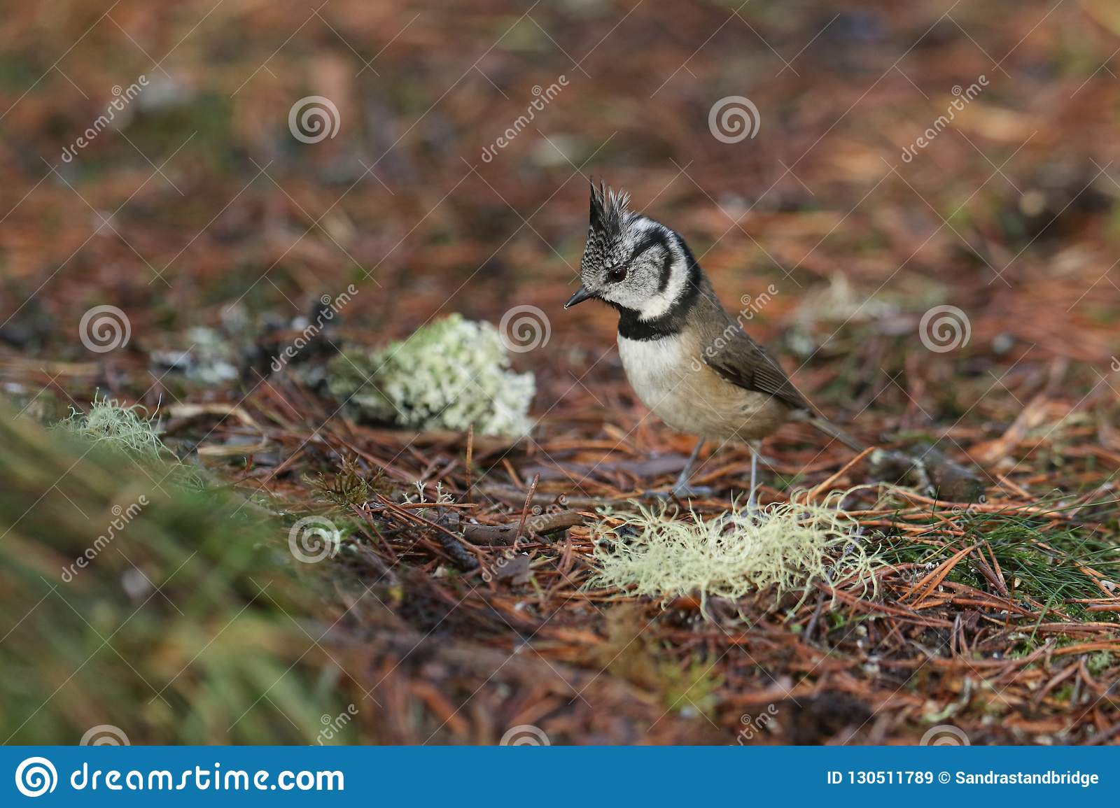 A Rare Crested Tit Lophophanes Cristatus Searching For Food