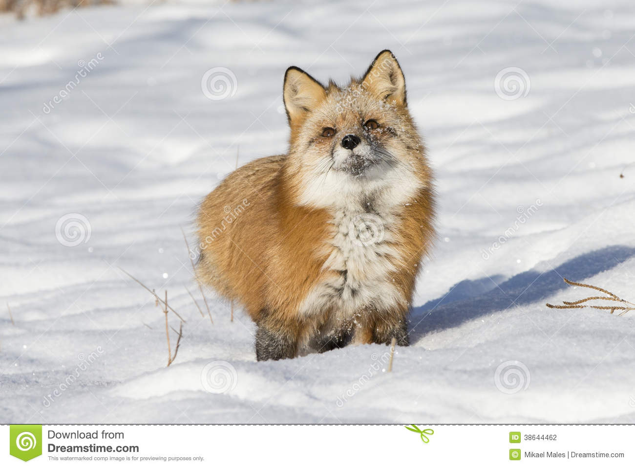 red fox vulpes vulpes sits in the snow looking up stock