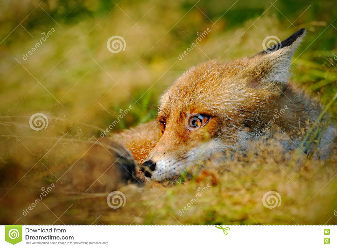 Cute Red Fox, Vulpes vulpes, animal at green forest with stones, in the nature habitat, detail head portrait, Austria