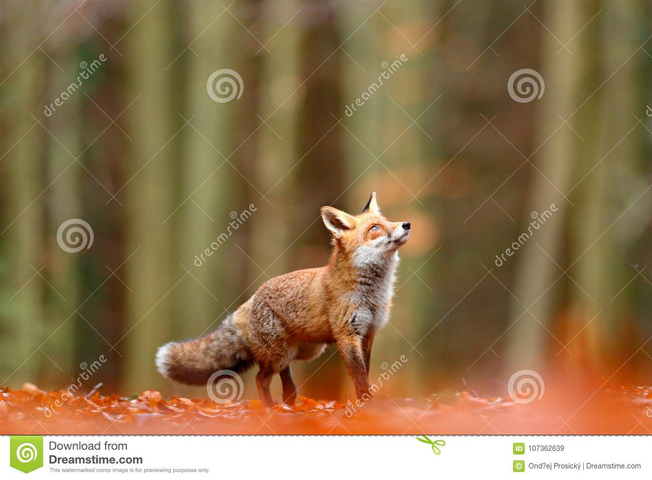 Cute Red Fox, Vulpes vulpes, fall forest. Beautiful animal in the nature habitat. Orange fox, detail portrait, Czech. Wildlife sce