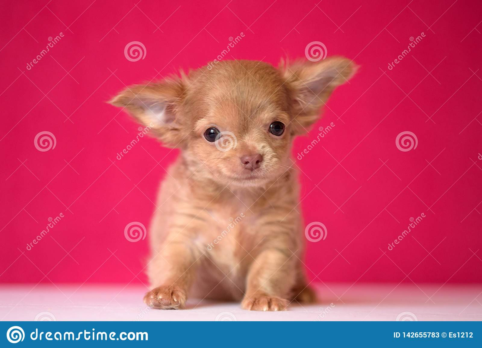 Cute Red Haired Chihuahua Puppy Sits On A Crimson Background Stock Image Image Of Brown Playful 142655783