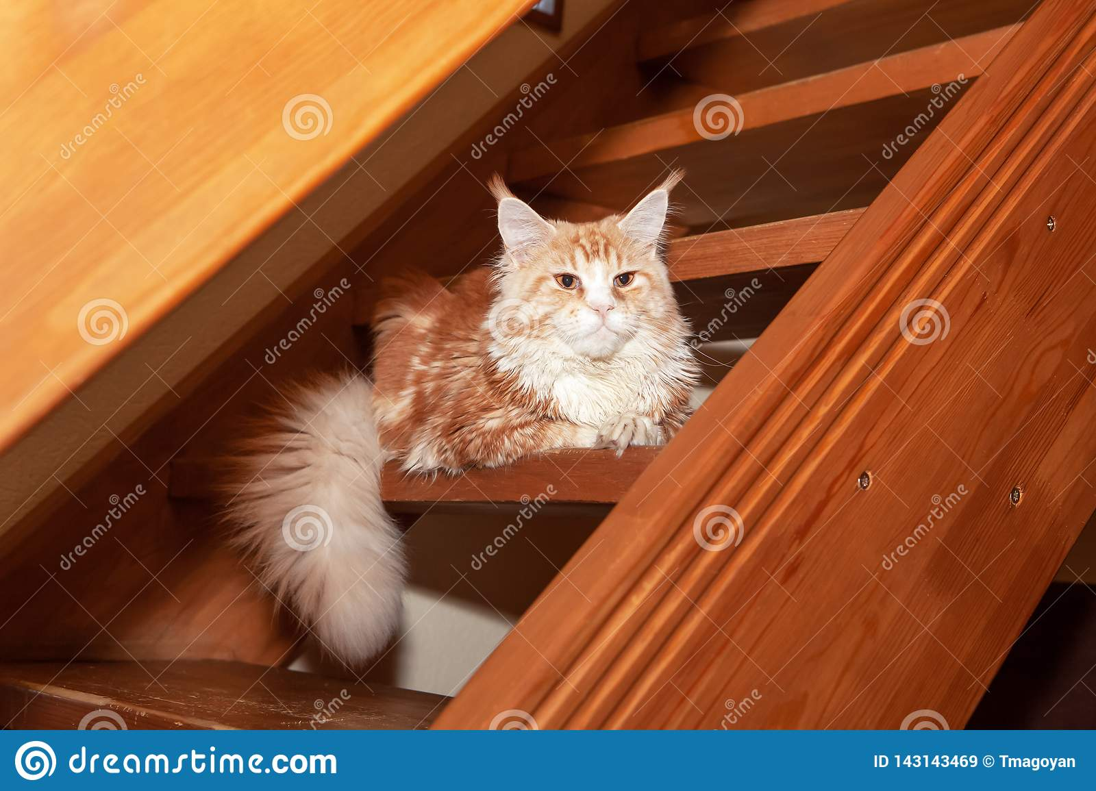Cute red Maine Coon cat lies on steps of wooden stairs in country house. Concept rare pets, breeding, nurseries, clubs. Side view