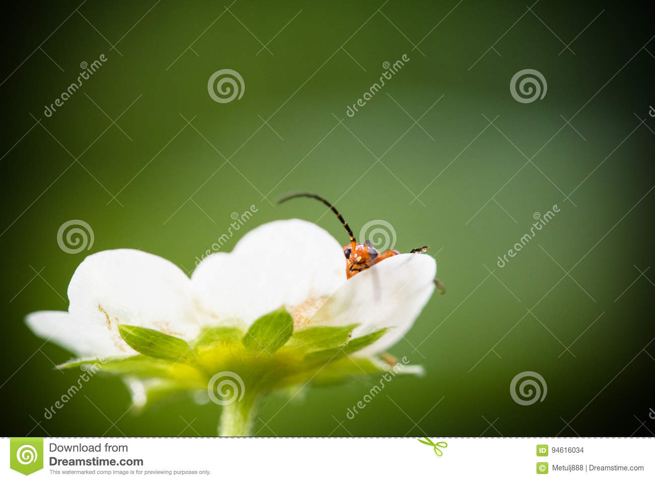 Cute red orange insect bug lying in strawberry flower looking at camera and moving his huge antennae in blurred green background