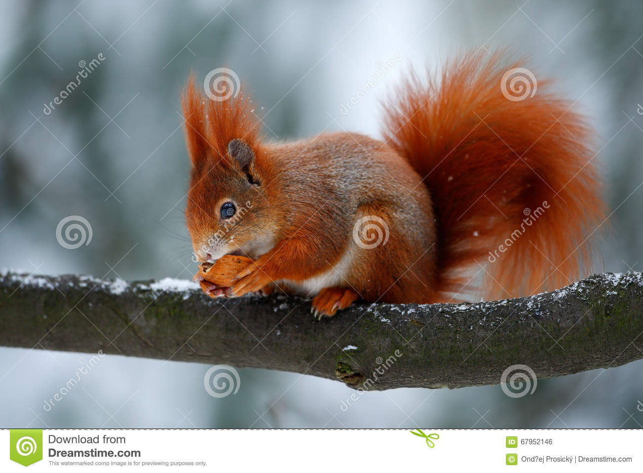 cute red orange squirrel eats a nut in winter scene with