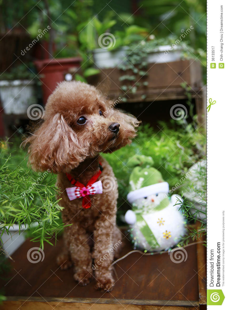 Cute Red Poodle Stock Image Image Of Canine Adorable