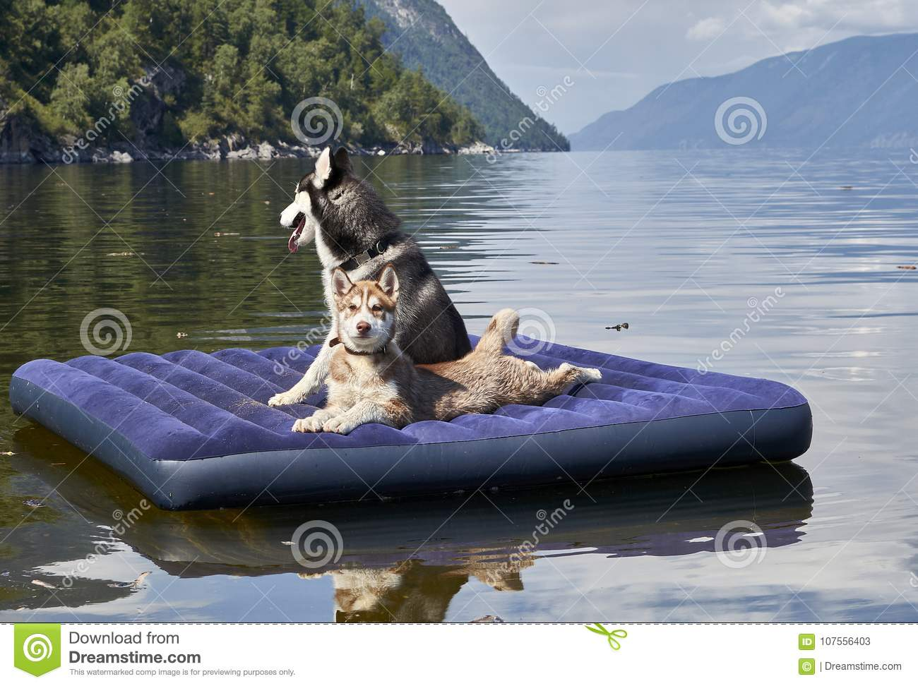Cute Red Siberian Husky Puppy Stock Image Image Of Animals Cute