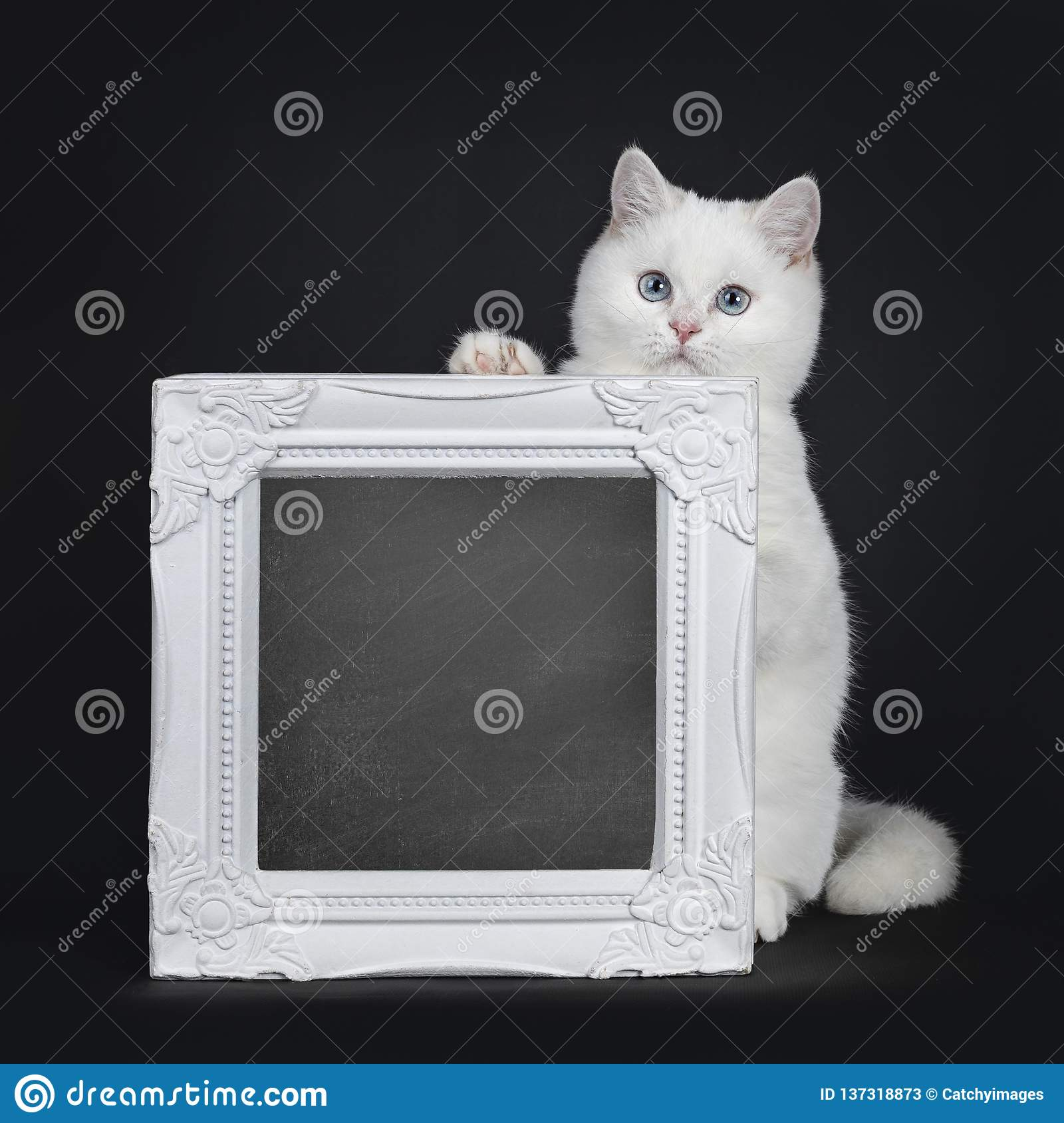 Cute Red Silver Shaded Cameo Point British Shorthair Isolated On Black Background Stock Image Image Of Black Lens 137318873