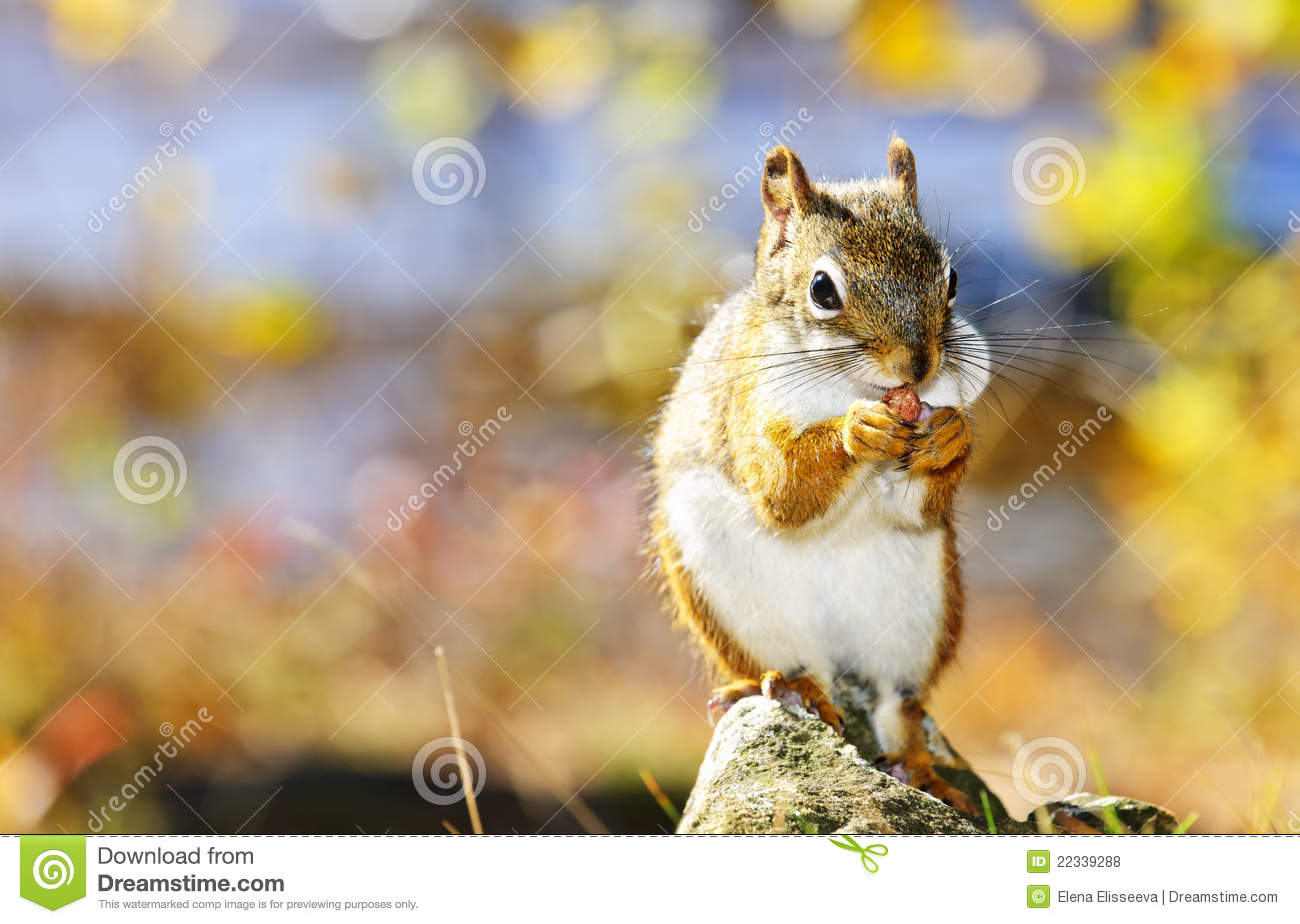 Cute red squirrel eating nut