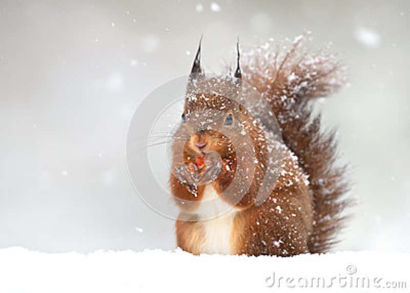 Cute red squirrel in the falling snow in winter