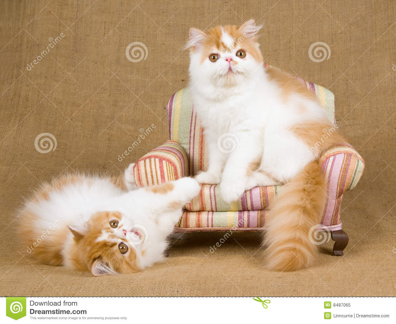 Cute Red And White Persian Kittens On Brown Chair Royalty