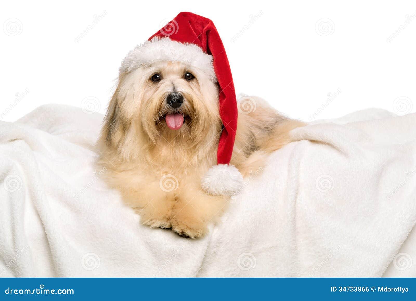 Cute Reddish Christmas Havanese Dog On A White Blanket