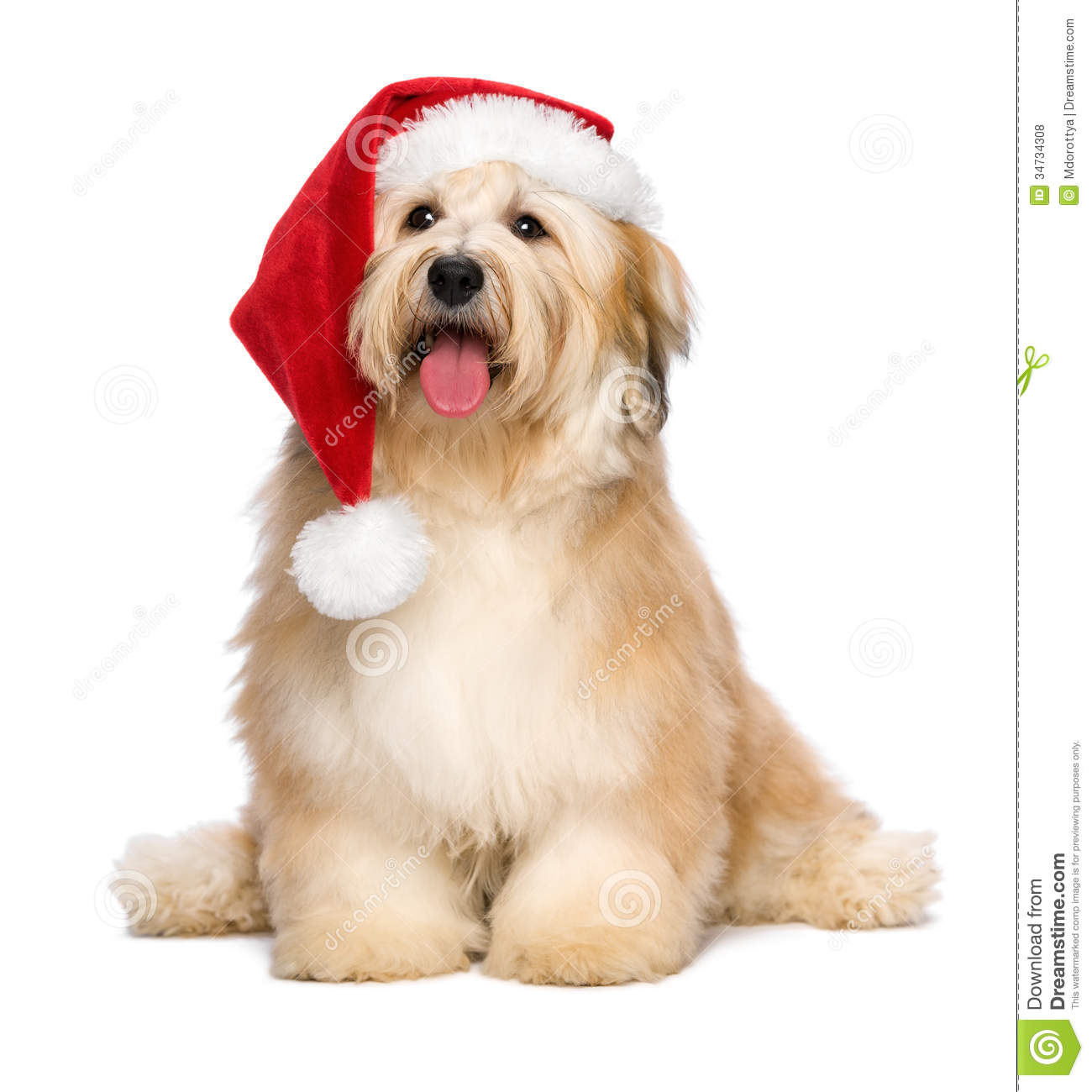 Cute reddish Christmas Havanese puppy dog with a Santa hat