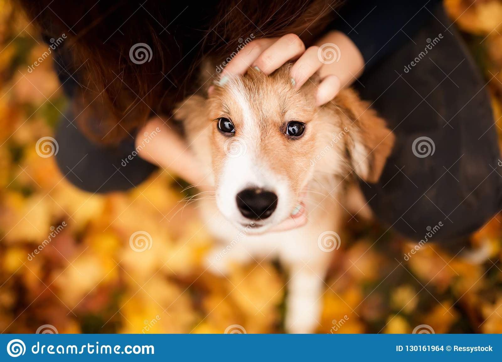 Cute redhead border collie puppy portrait his people look