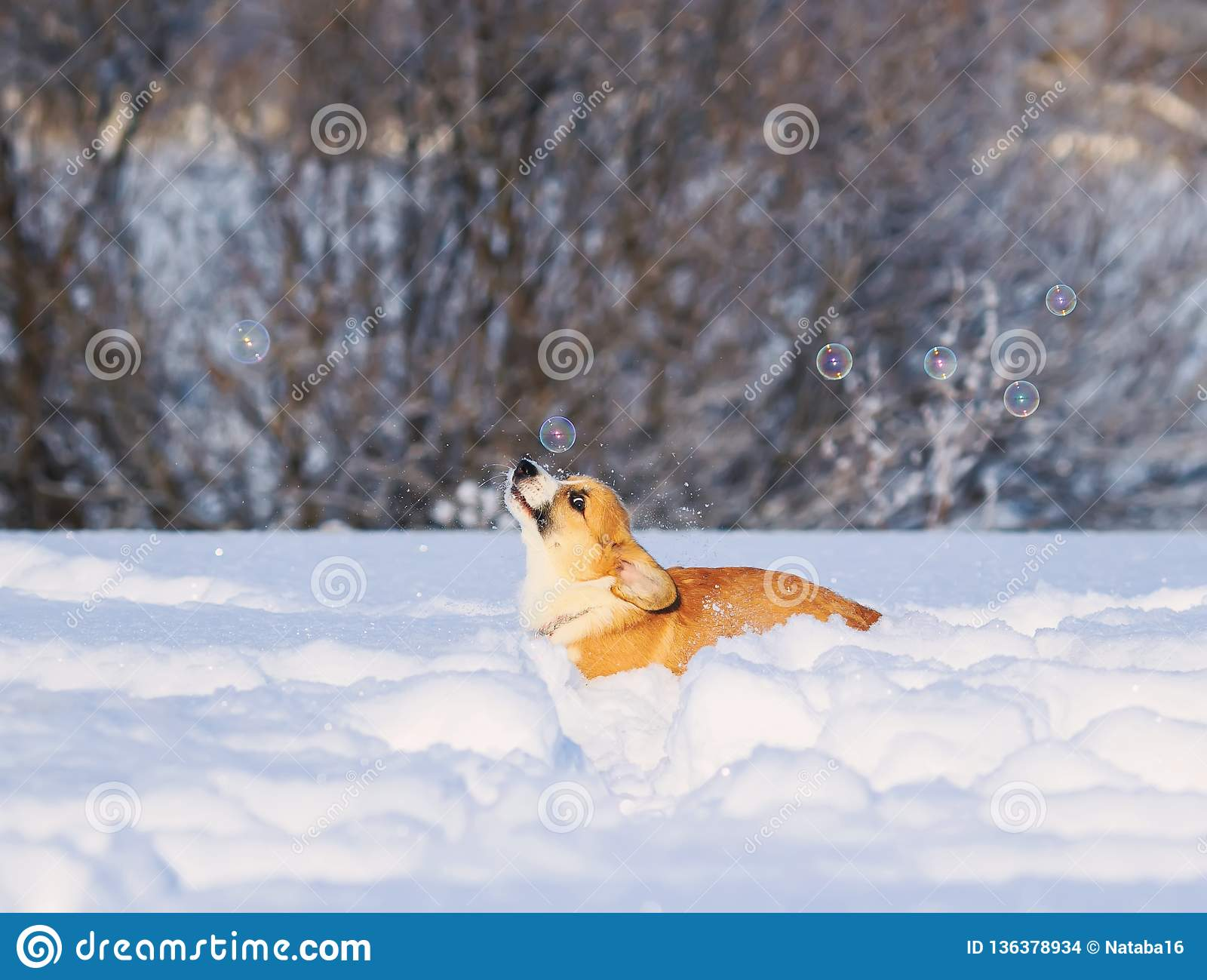 Cute redhead puppy Corgi funny catches shimmering soap beautiful bubbles running in white snow in winter Sunny Park
