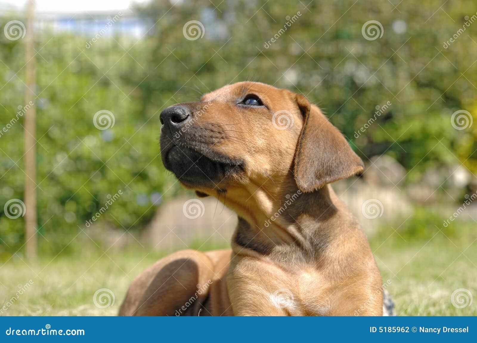 Cute Rhodesian Ridgeback Puppy Stock Photo Image Of Dogs