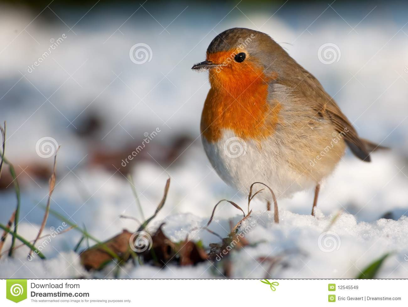 cute robin on snow in winter royalty free stock images   image