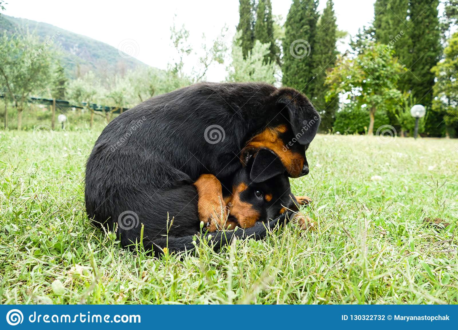 Cute Rottweiler Puppies Playing In The Garden Stock Photo Image Of